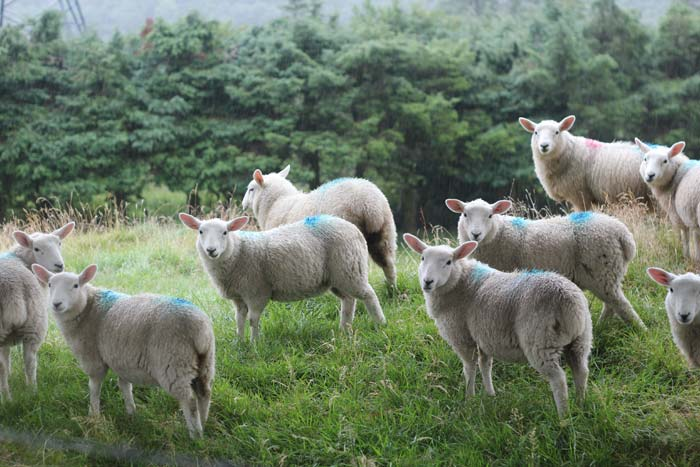 Sheep in Donegal, August 1st