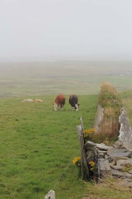 Cows grazing alongside the Cliffs of Moher, August 10th