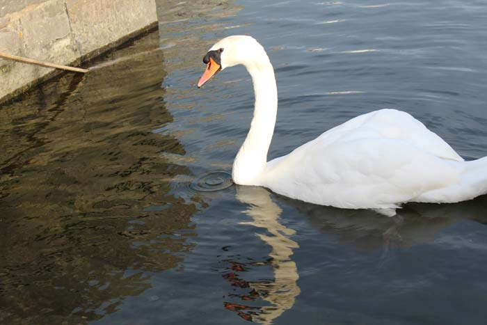 Swan in Galway, August 10